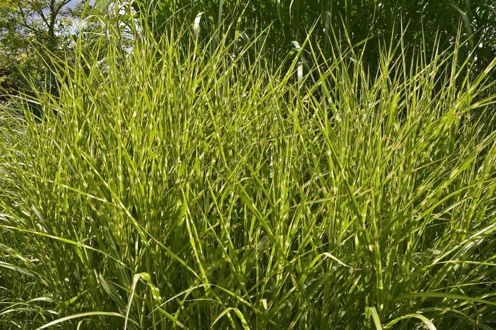 Zebrinus grass