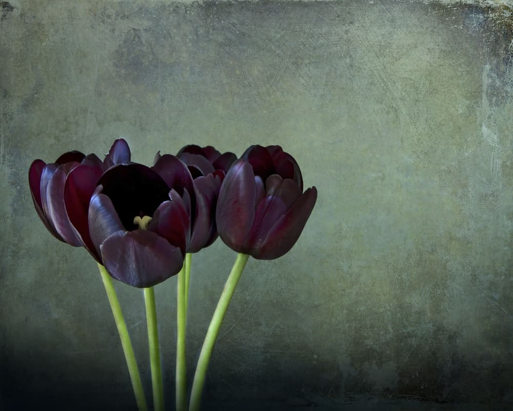 Four black tulips with purple reflections on grunge dark background.