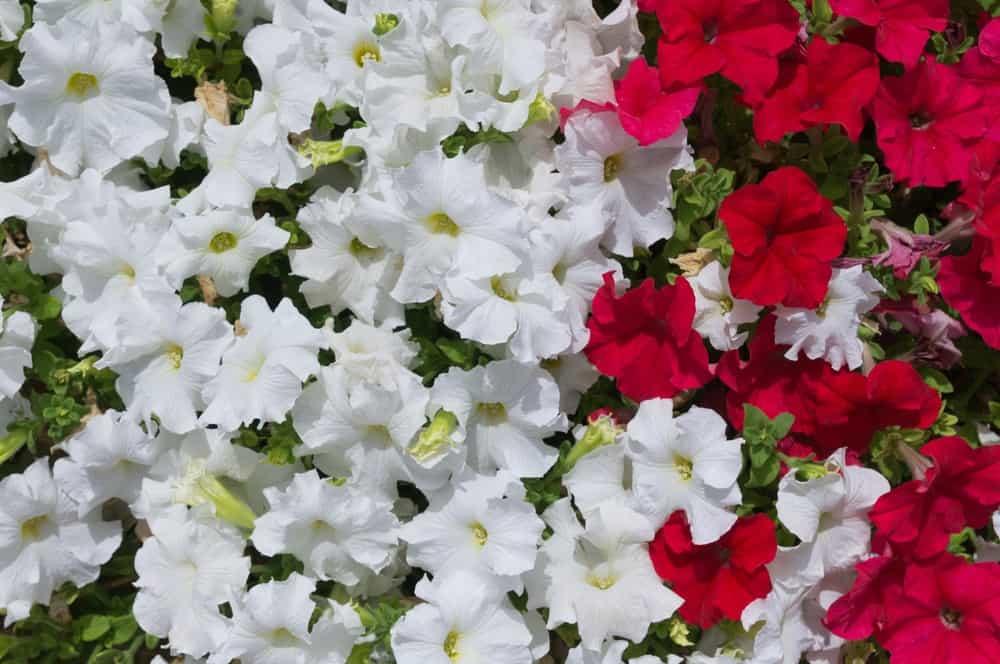 White and red carpet petunia