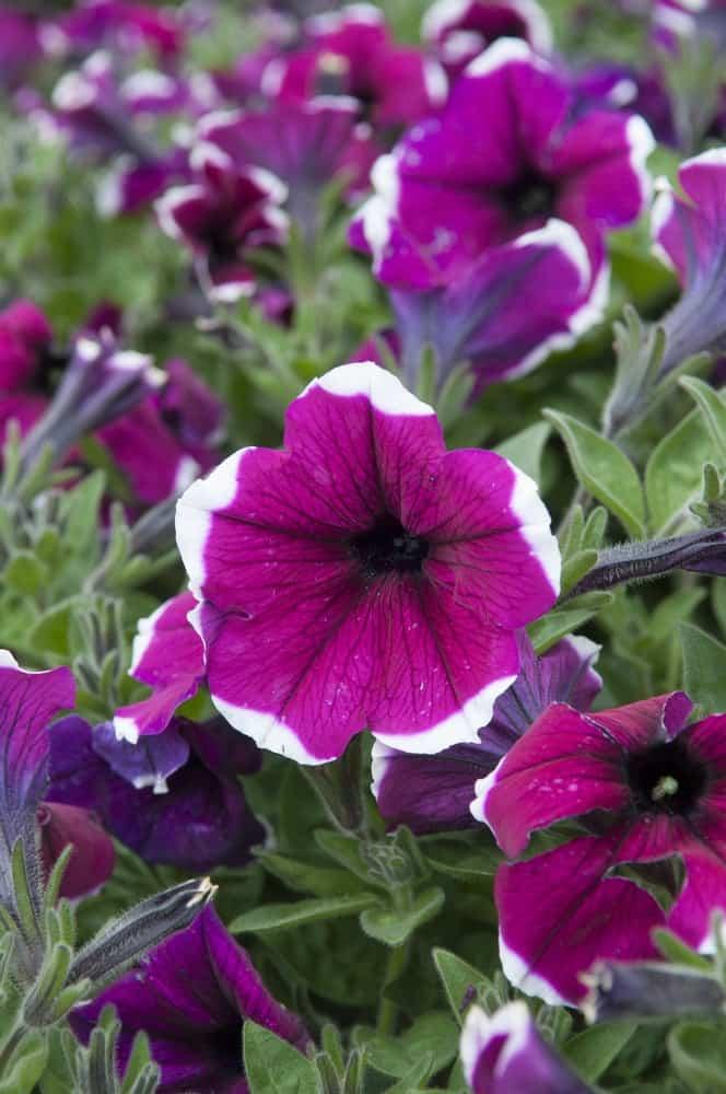 Purple cascadia petunia