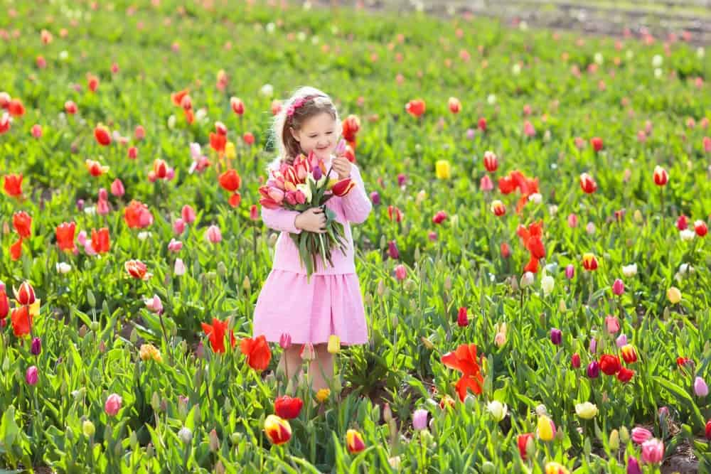 Little girl cutting fresh tulips in sunny summer garden.