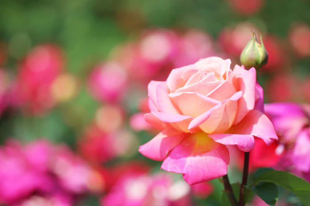 Closeup of a garden rose.