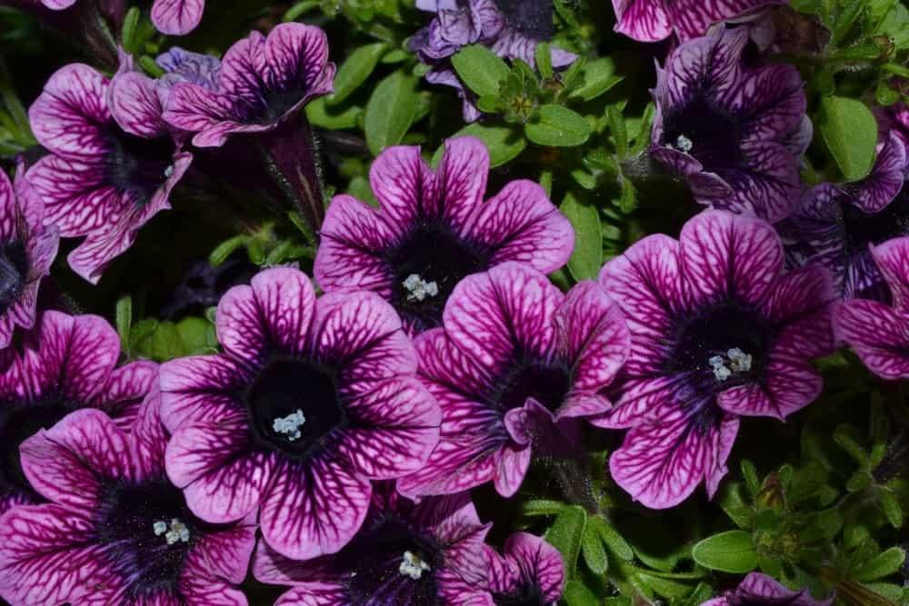 Purple littletunia petunia