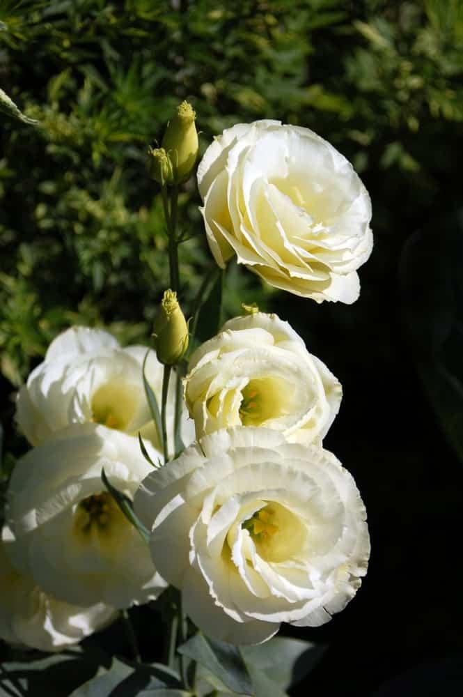 Mariachi yellow lisianthus