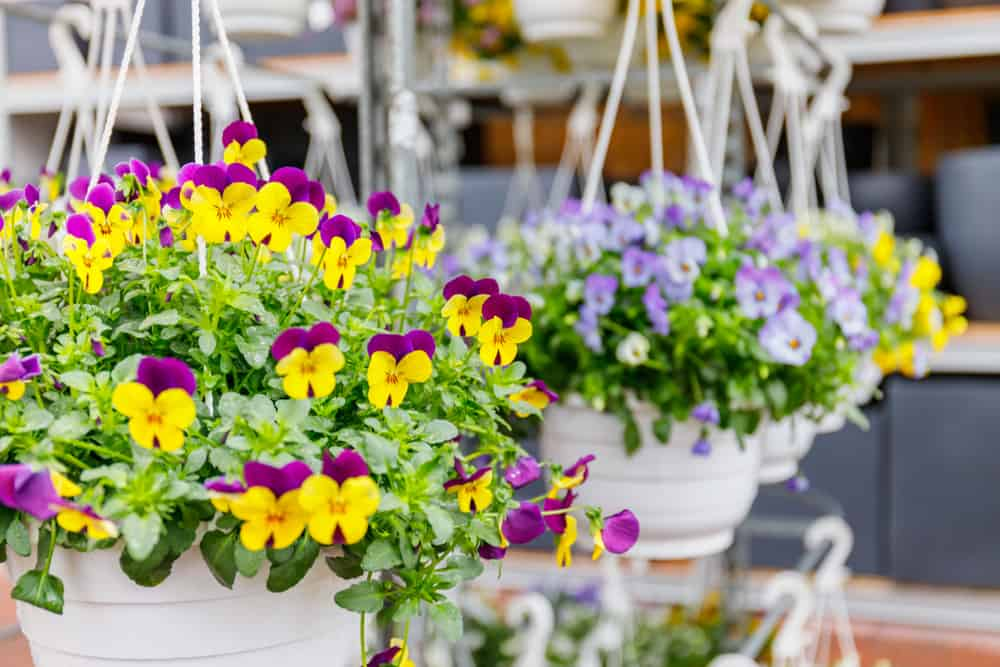 Multi-colored pansies in hanging pots.