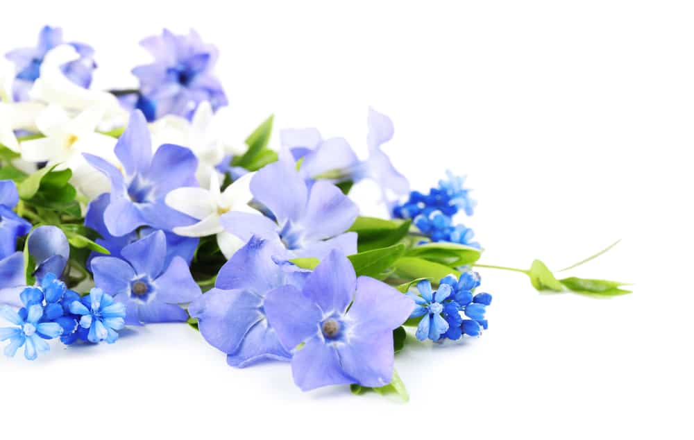 Periwinkle flowers on white background.