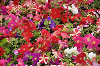 38 Different Types of Petunias and Why You Should Grow Them