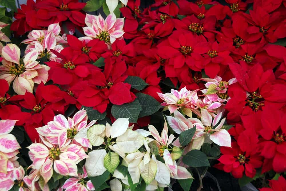 Poinsettia flowers in different colors on display.