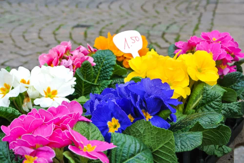 Primrose flowers in colors of white, pink, blue, orange and yellow on display in a street market.