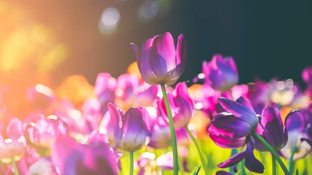 Beautiful purple tulips blooming in spring flowers in sunny weather in blur background.
