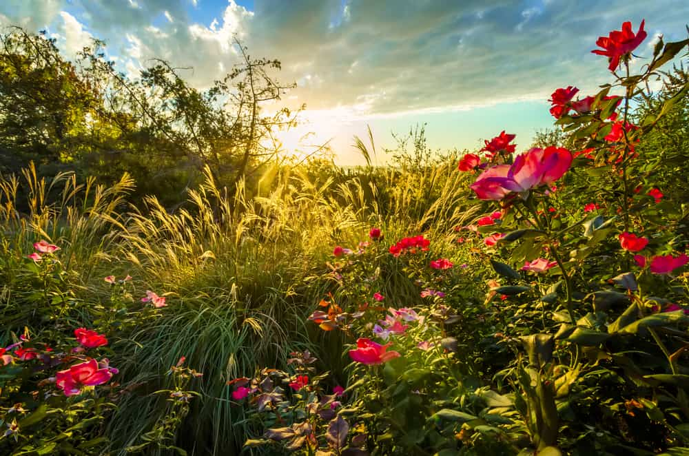 A rose garden during sunrise.