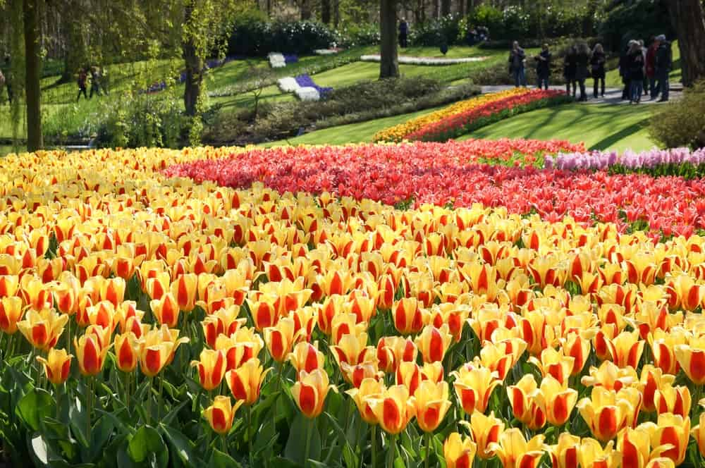 Colorful tulip plantation at Keukenhof in Lisse, Netherlands.