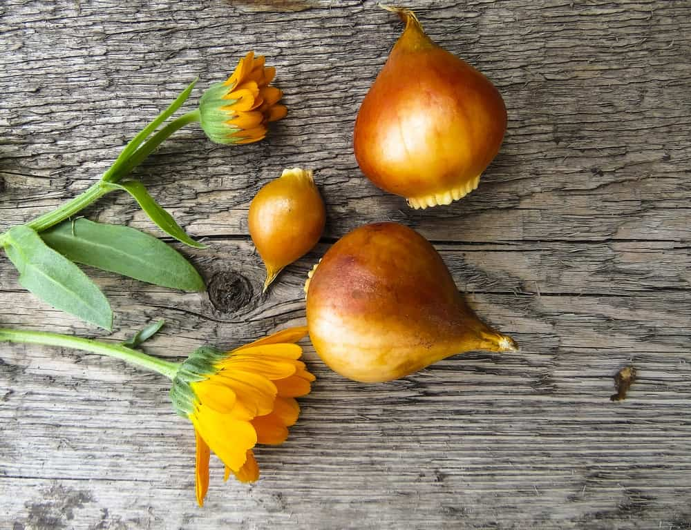 Tulip bulbs with orange flowers on a wooden background.