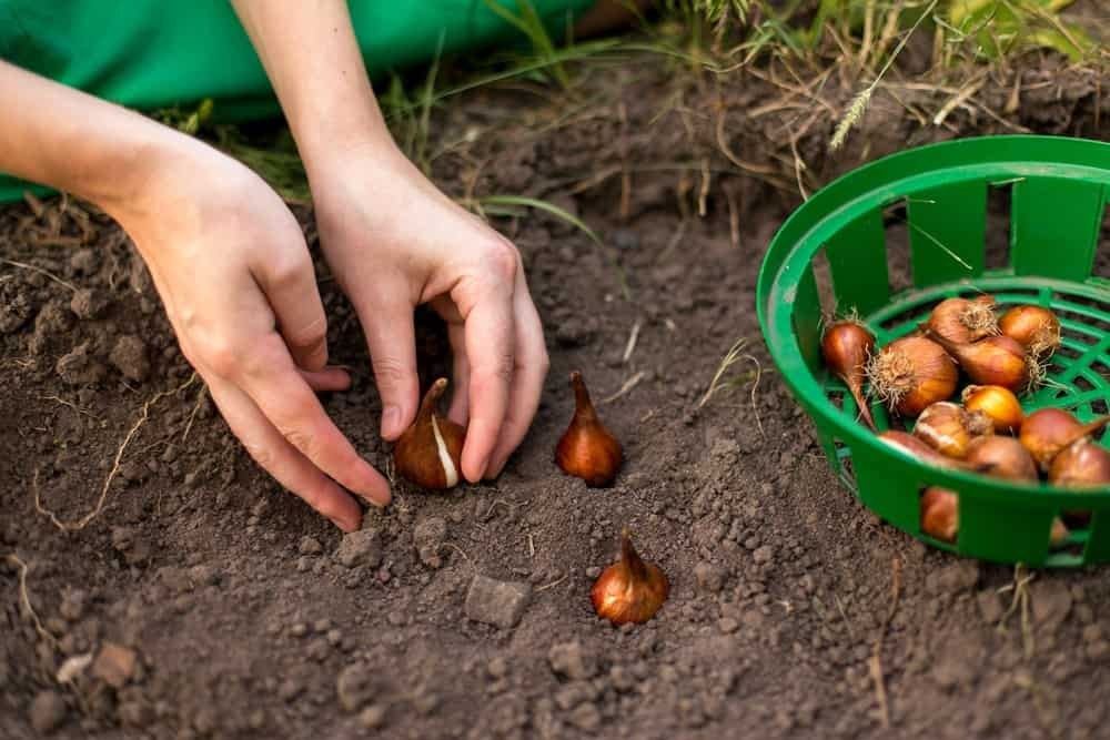 Planting tulip bulbs in the flower-garden in autumn.