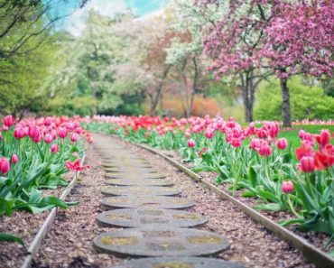 20 things you didn't know about tulips.