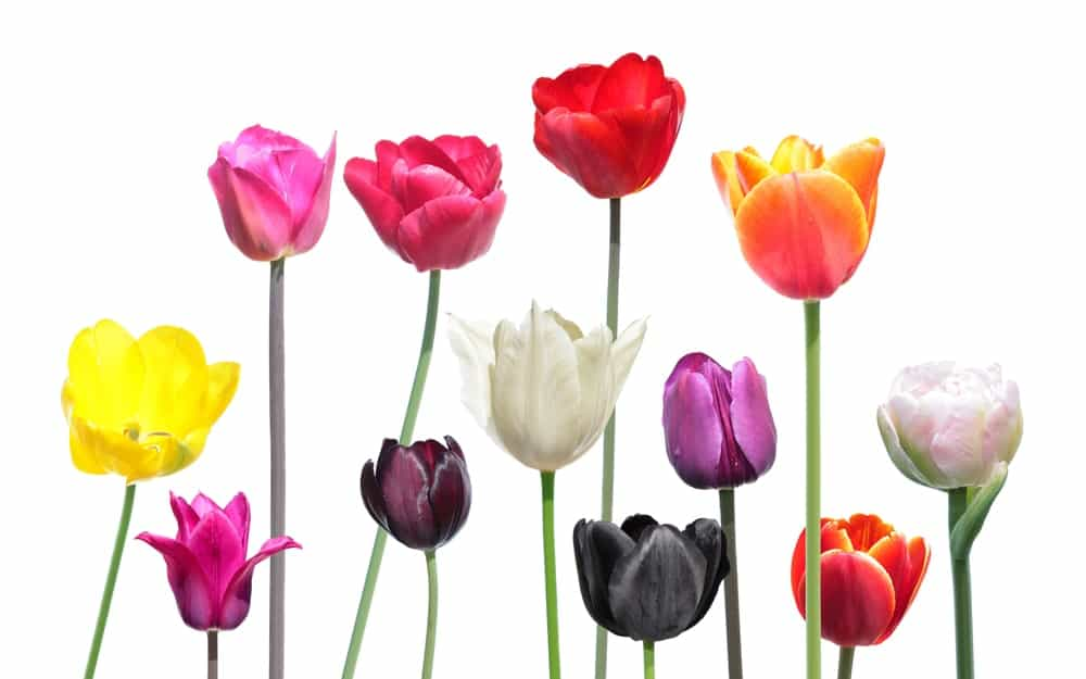 Set of different varieties of tulip flowers isolated on white background.