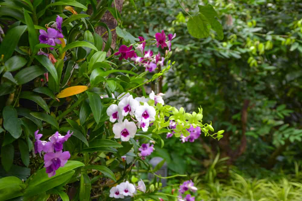 Beautiful wild white and purple orchids growing in a green tropical garden