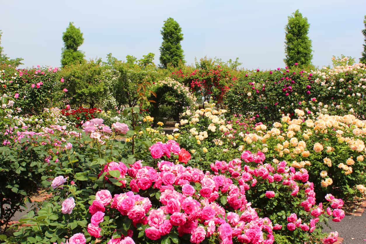 Beautiful and large rose garden
