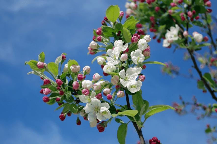 Apple blossom plant photographed upwards.
