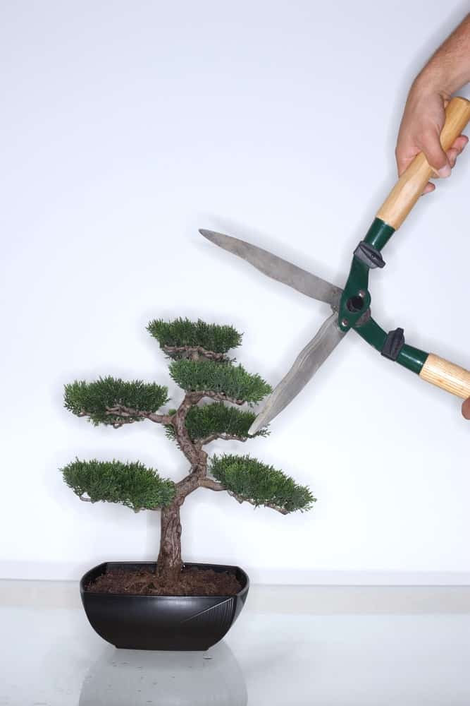 Clipping the Bonsai Tree with a leaf trimmer.
