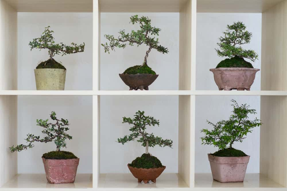 Different types of bonsai tree pots on display in an open cube shelf.