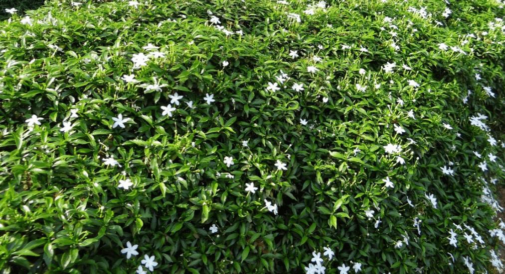 Confederate jasmine top view.
