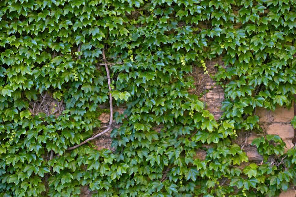 English Ivy plant crawled on the wall.