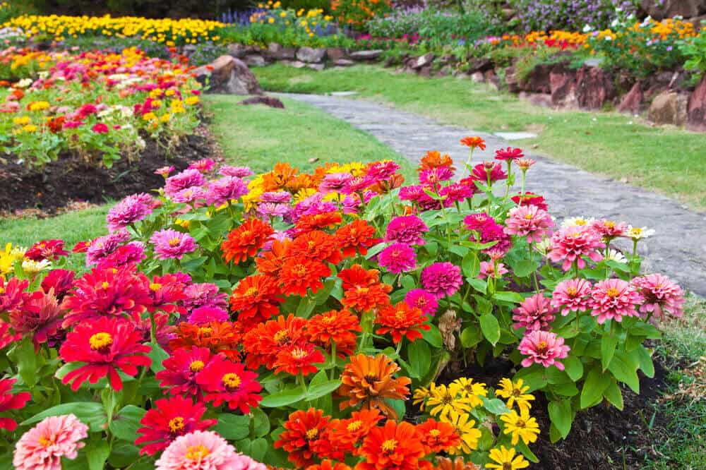 A flower garden with Chrysanthemums in different colors.