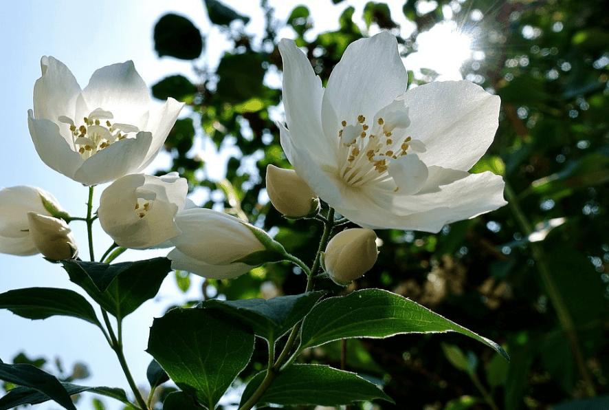 Flowering jasmine plant photographed upside.