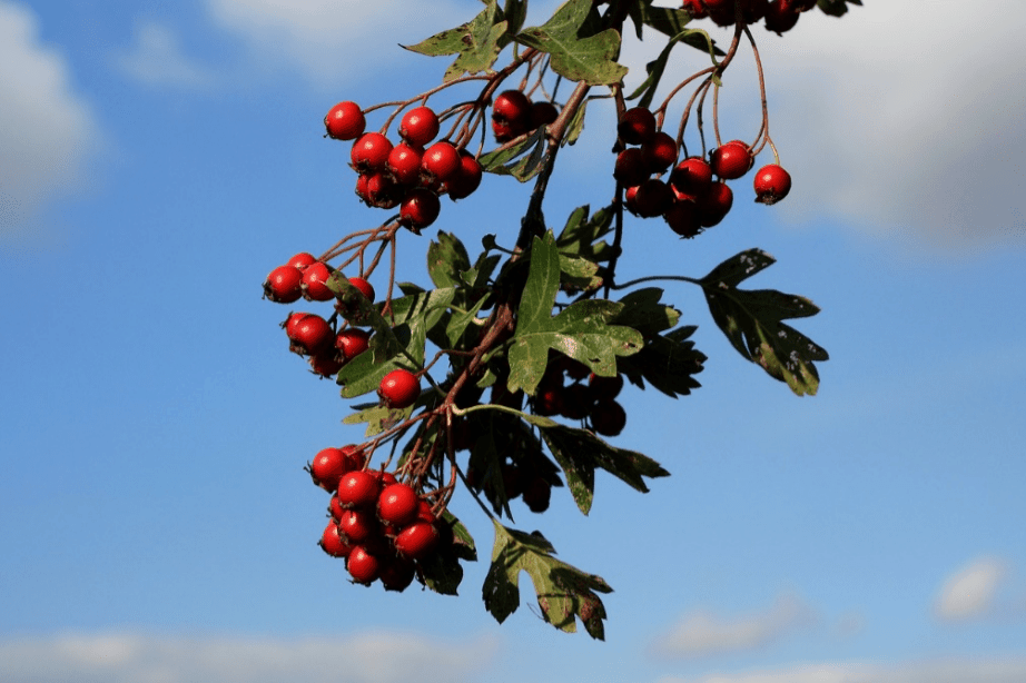 Hawthorn plant with its fruit.