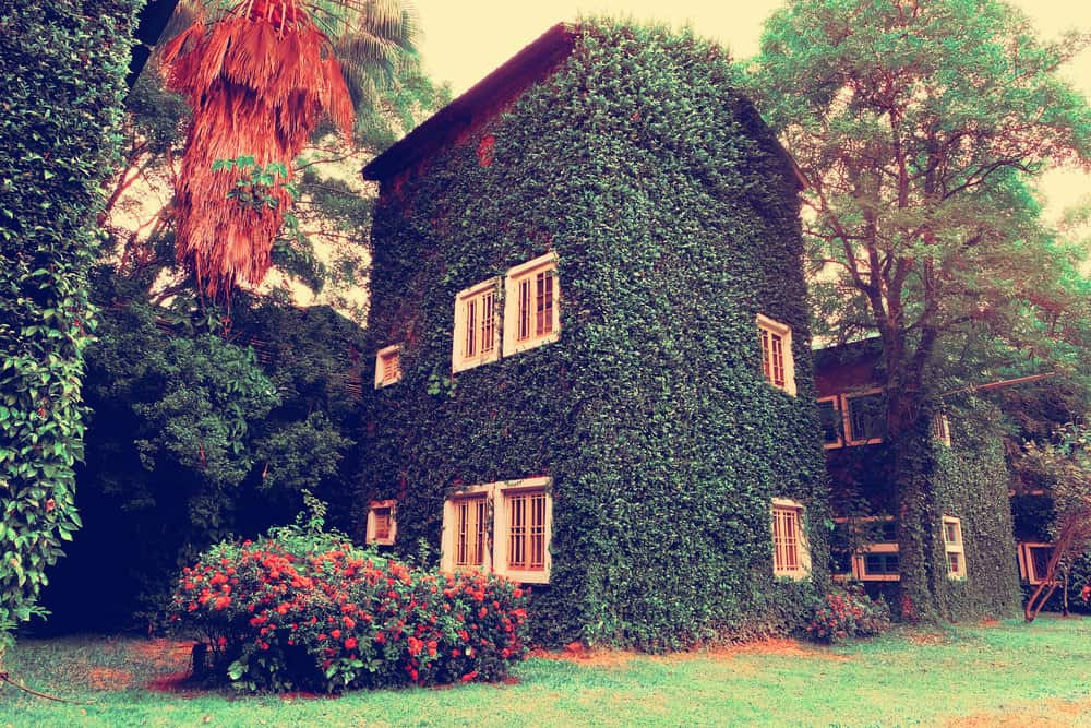 Old home nestled among huge trees covered in ivy but the white trim windows are clearly visible. This is an example where the ivy has been properly pruned.