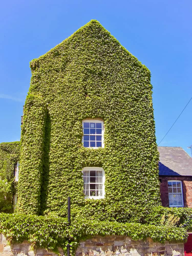 Close-up of red brick home nearly covered entirely in ivy. I like the ivy effect on the towering part of the home.