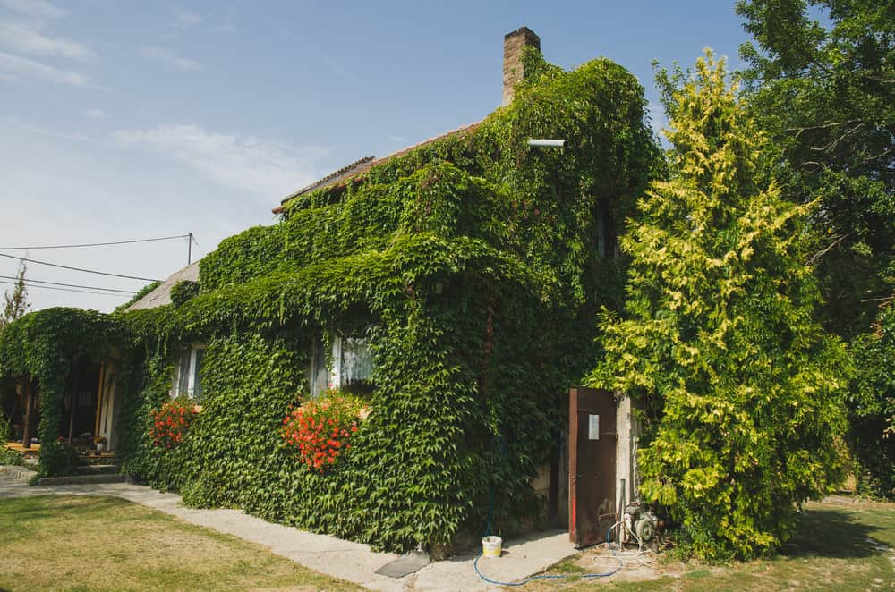 Here's an example where the ivy has grown out of control. At least it's trimmed for the windows.