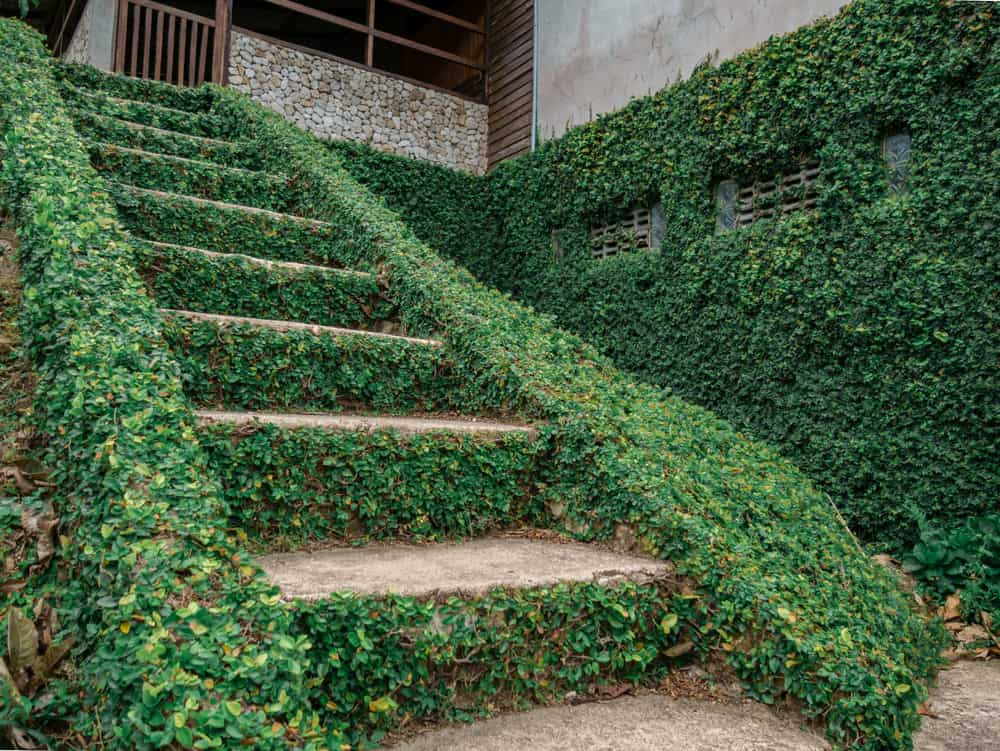 Exterior staircase covered in ivy.
