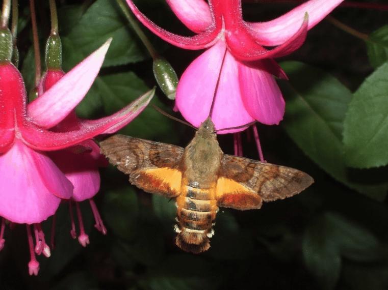 Hummingbird fuchsia close up shot.