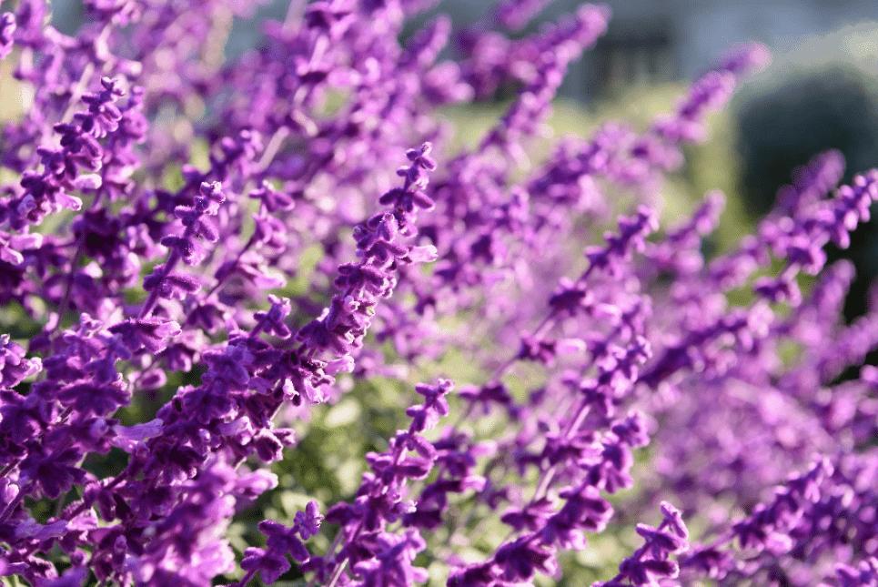 Lavender plant shot at a garden