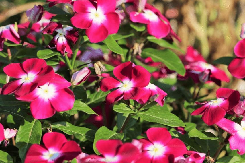 Periwinkle flower plant close up shot.