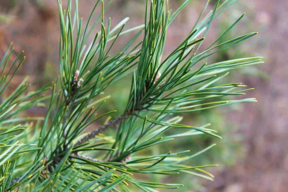A close-up shot of pine needles in the garden.