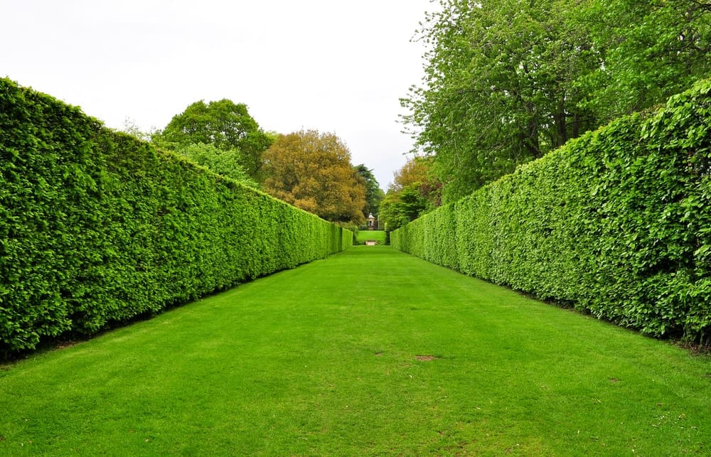 Tall boxwood hedge span the length of this lusciously green garden.
