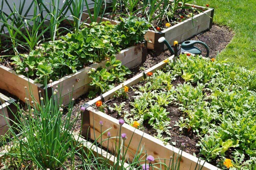 Rectangular, wooden raised bed gardens.