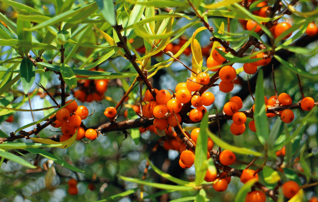 Sea buckthorn plant with its fruit.