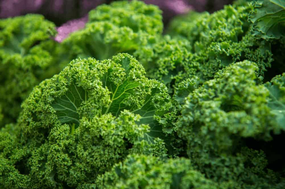 Sea kale plant close up shot.