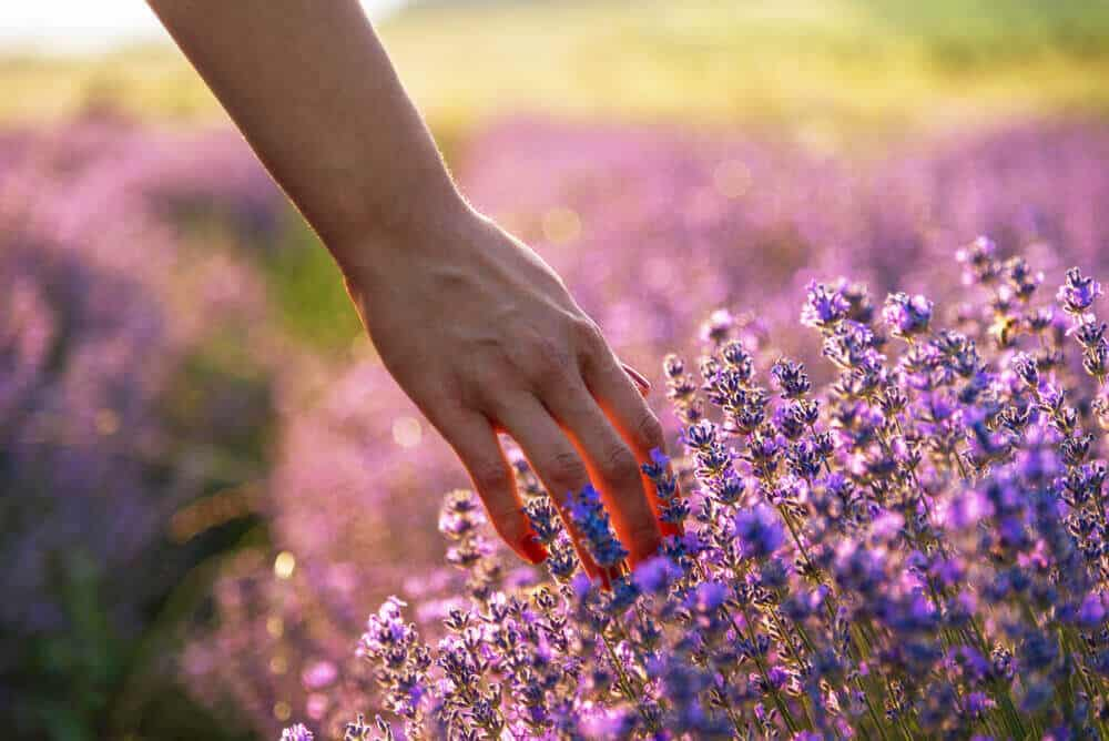 A therapeutic garden full of lavender flowers.