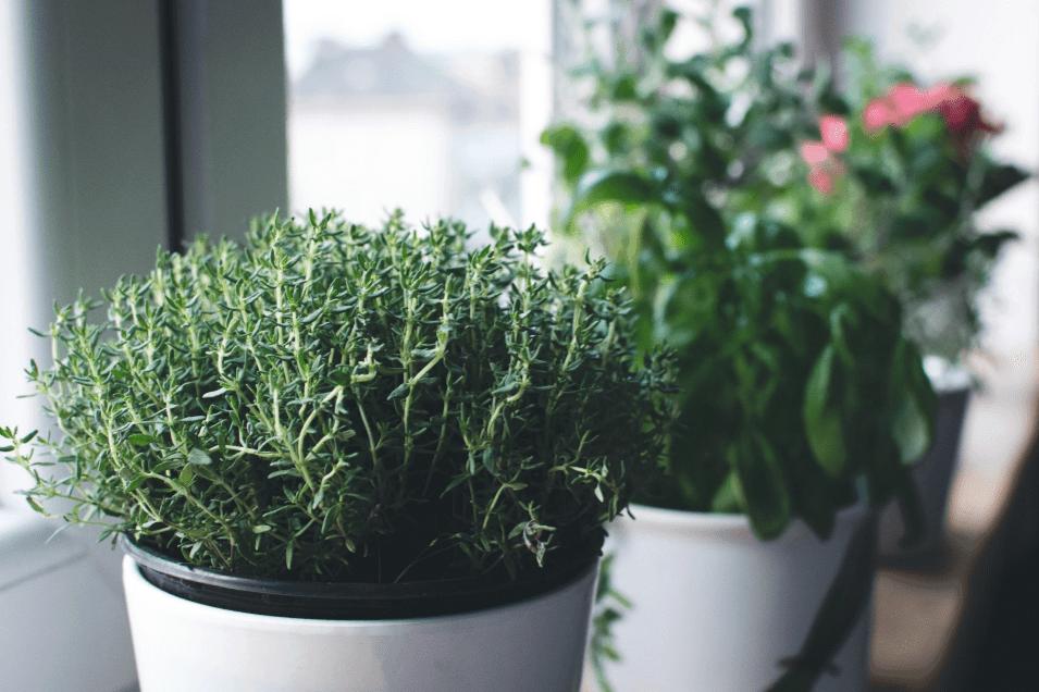 Thyme plant on a white pot.