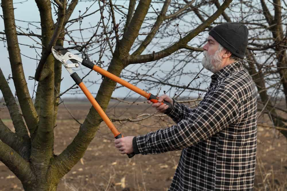 A man is using tree loppers to prune the branches of a tree.