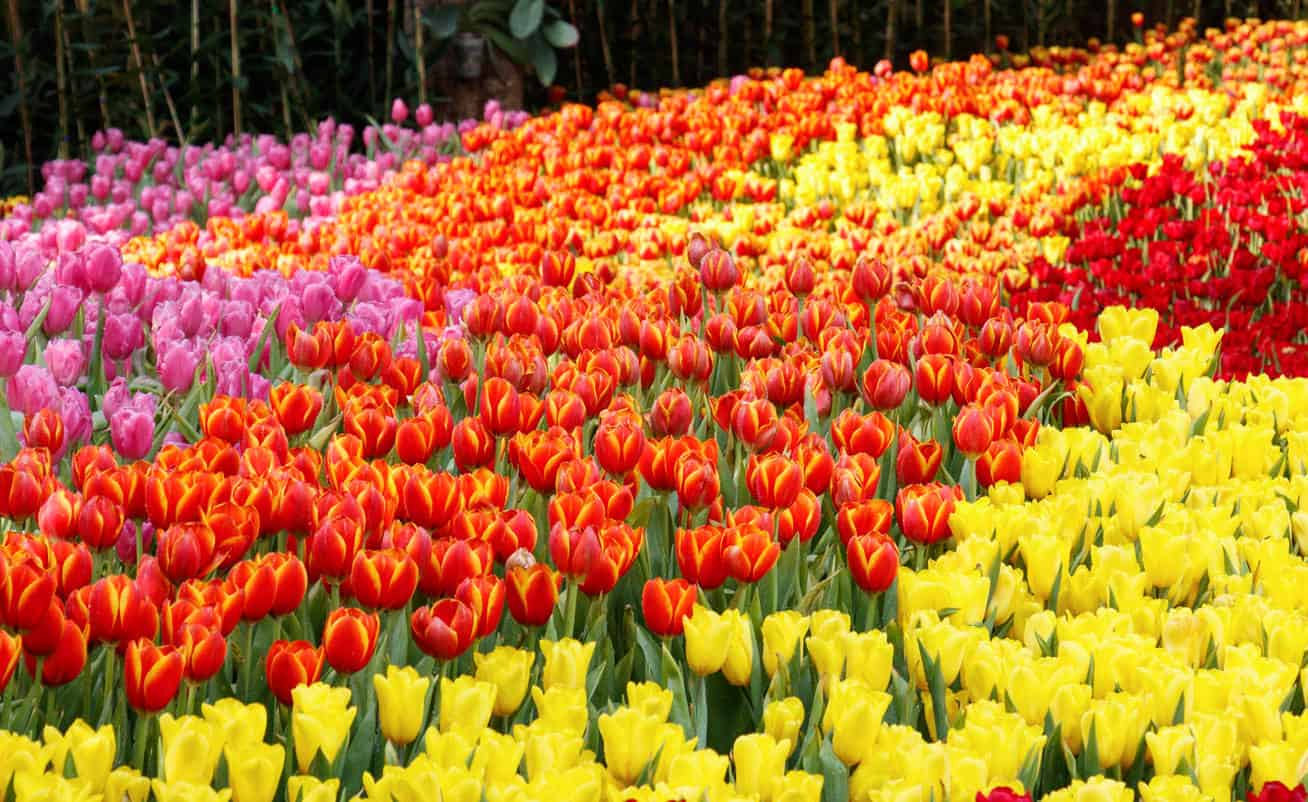 Stunning tulip garden