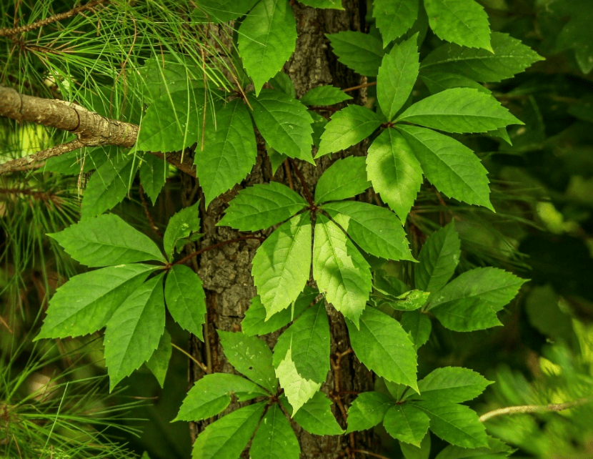 Virginia creeper photographed on the wild.