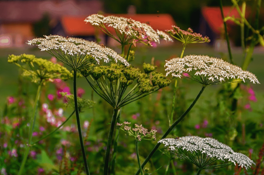 Yarrow plant photographed in the garden.