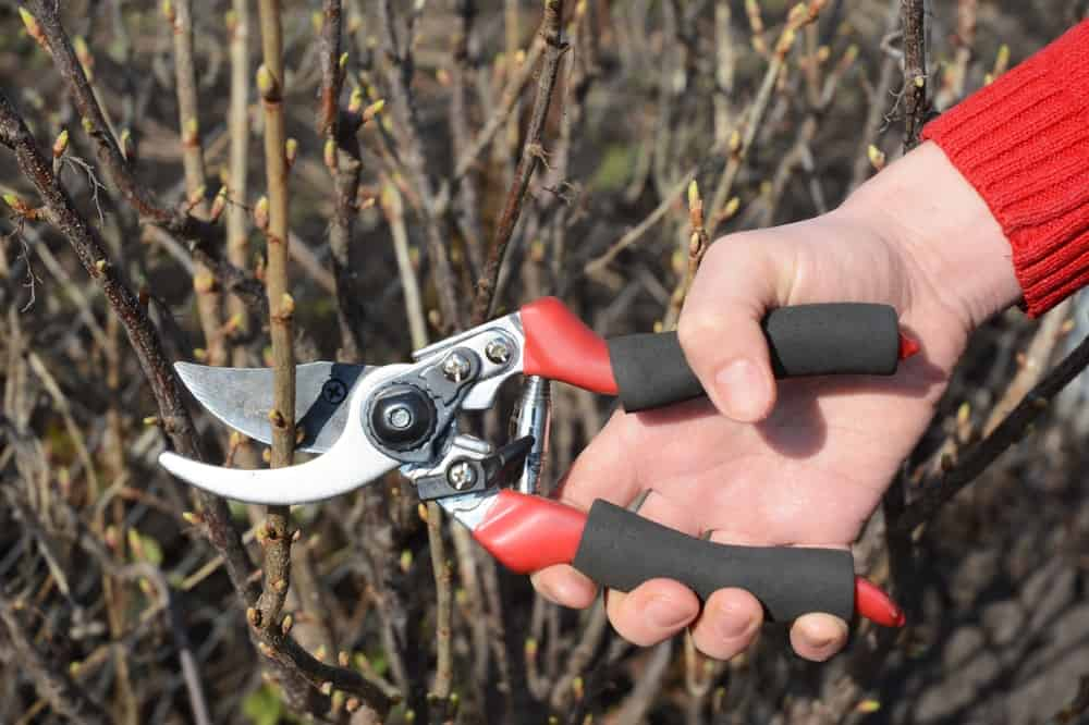 A gardener is using a pruner with bypass feature to trim shrub stems.