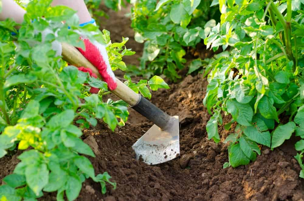 Hoe used to dig through soil for crops.